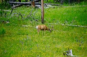 A mule deer